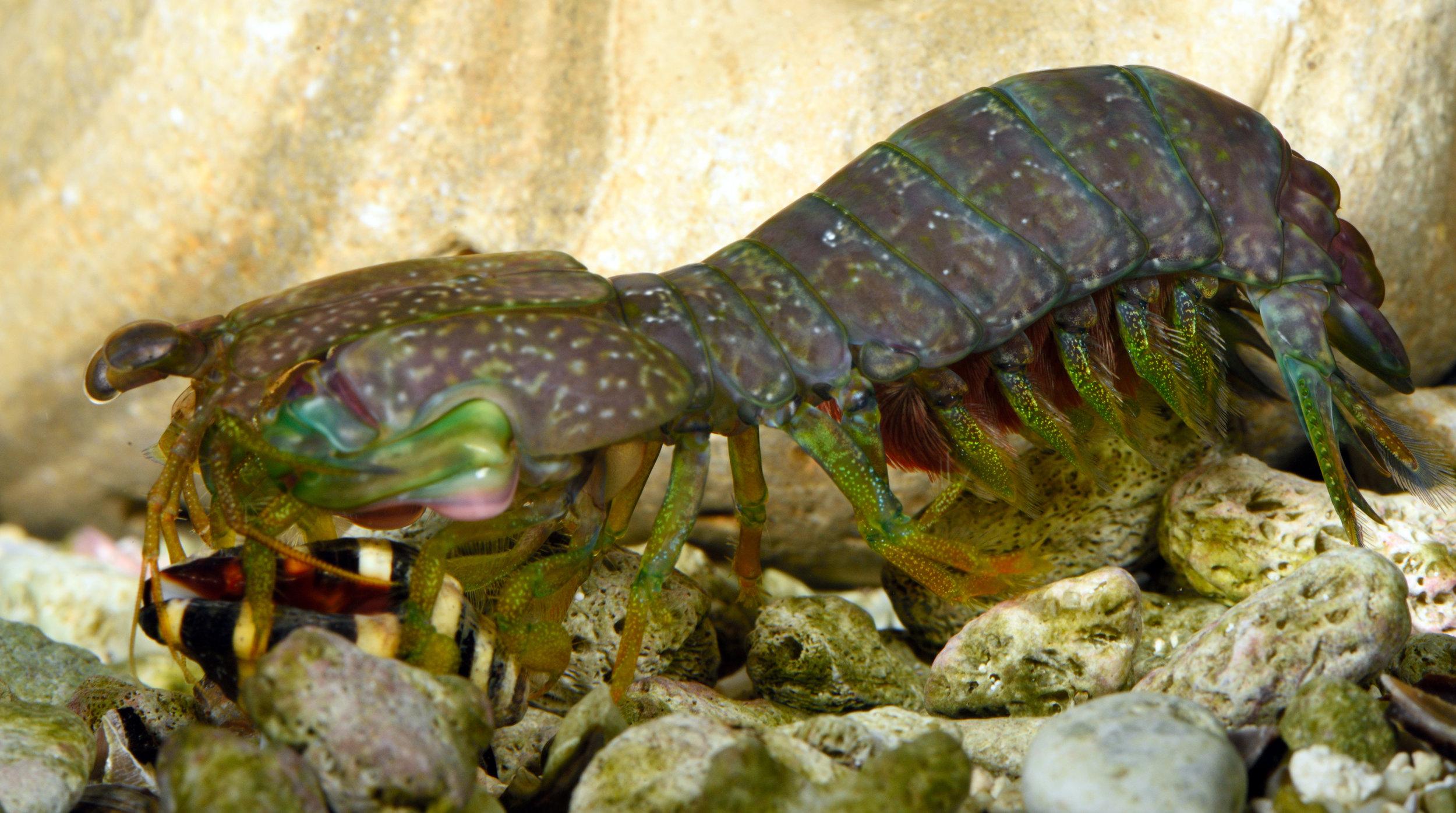 Neogonodactylus bredini smashing a snail.(Photo: Roy L. Caldwell)