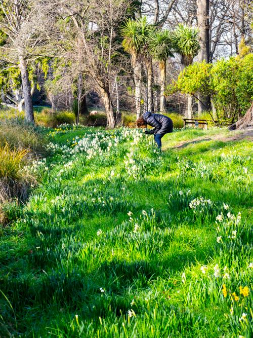 Daffodil Lawns, Christchurch Botanical Gardens, 6 August 2016.