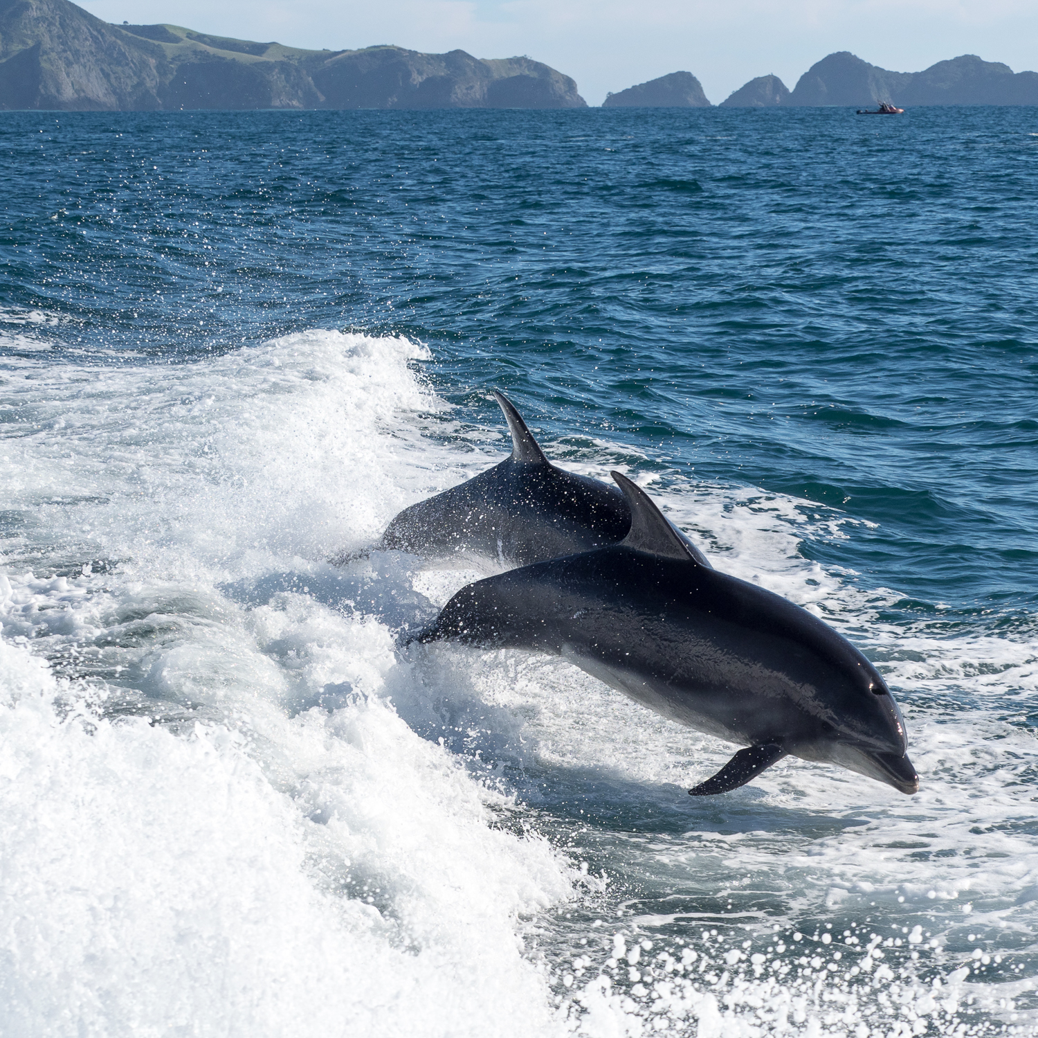 And the 40-150 f/2.8 lens was a great option for photographing these dolphins travelling at speed in the Bay of Islands, NZ.