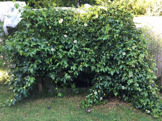 The passionfruit vine