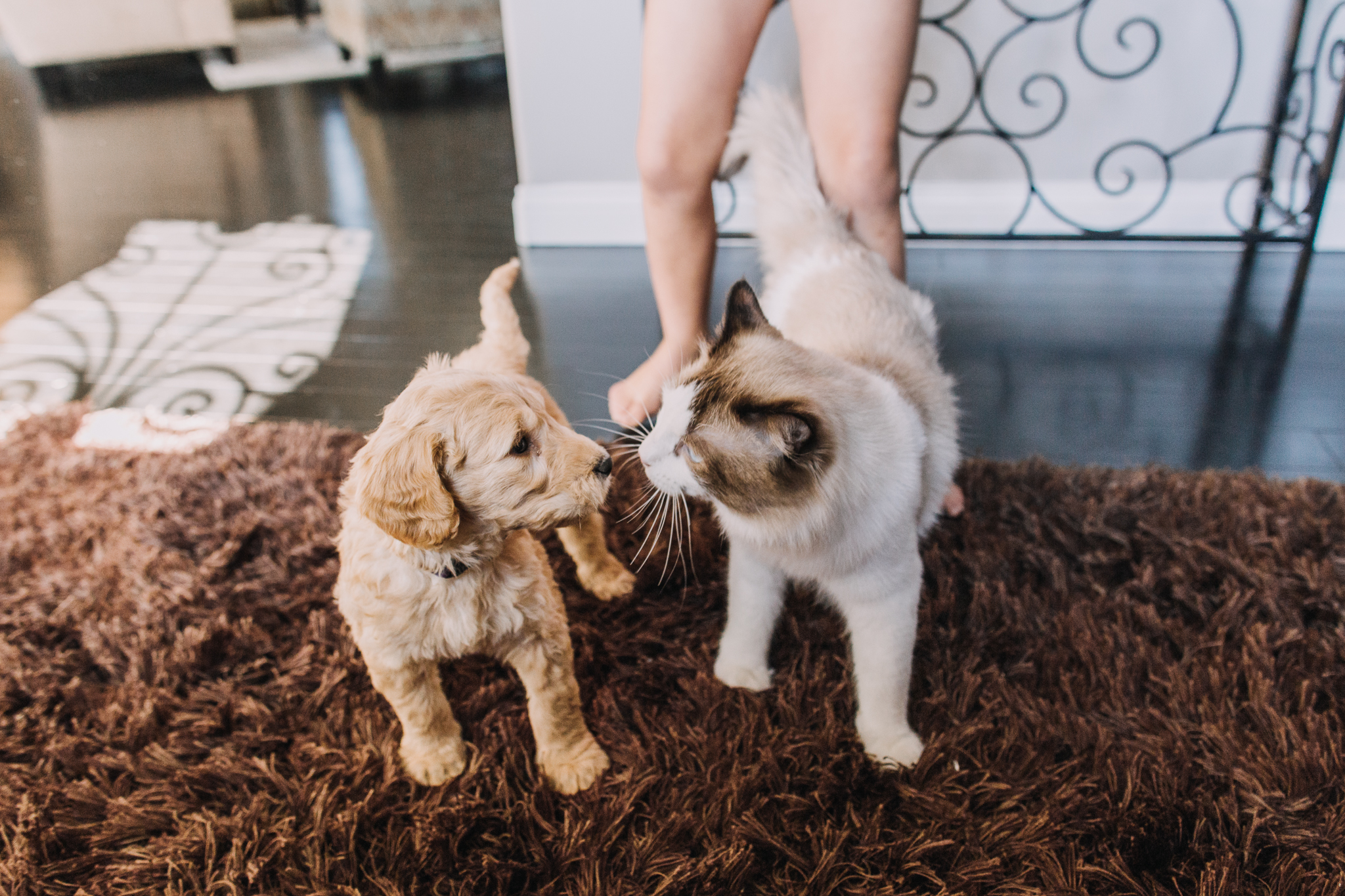 Goldendoodle puppy and Ragdoll cat