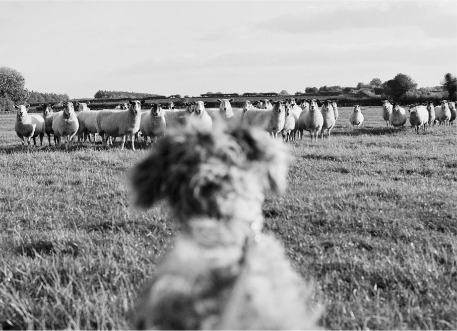 NEW 8 Sheep Dog copy.jpg