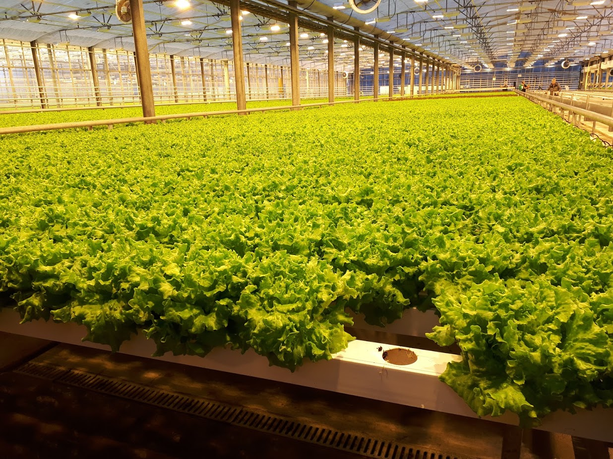 Greenhouse production of salads in March, in Reykjavik, Iceland. Photo: Anubha Garg