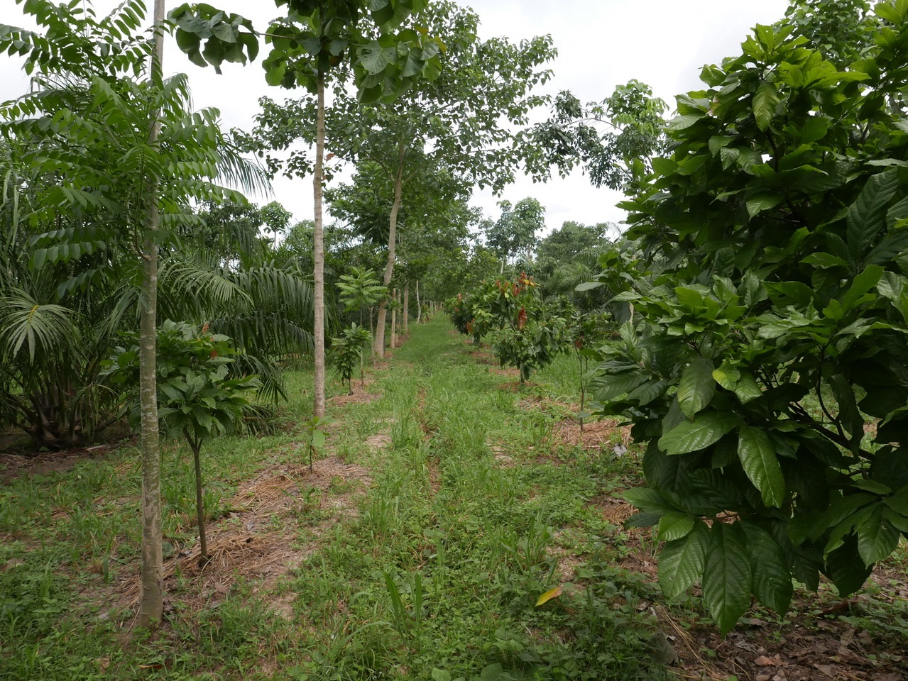 Fredy's Dynamic Agroforestry Plantation with different rows: oil palms (background left), timber tree row (left), fruit tree row (right), and rubber tree rows (not visible). Cocoa trees are planted every three meters, mulch is applied within the rows. (Photo credit: Joachim Milz, Ecotop Consult)
