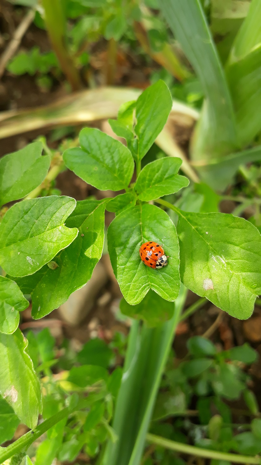 Ladybird on a weed plant.