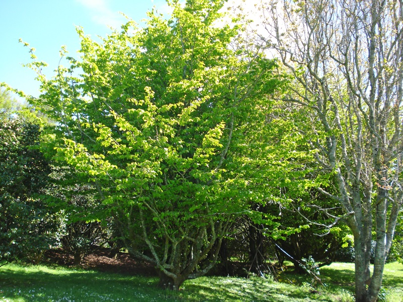 Persian Ironwood  ( Parrotia persica )