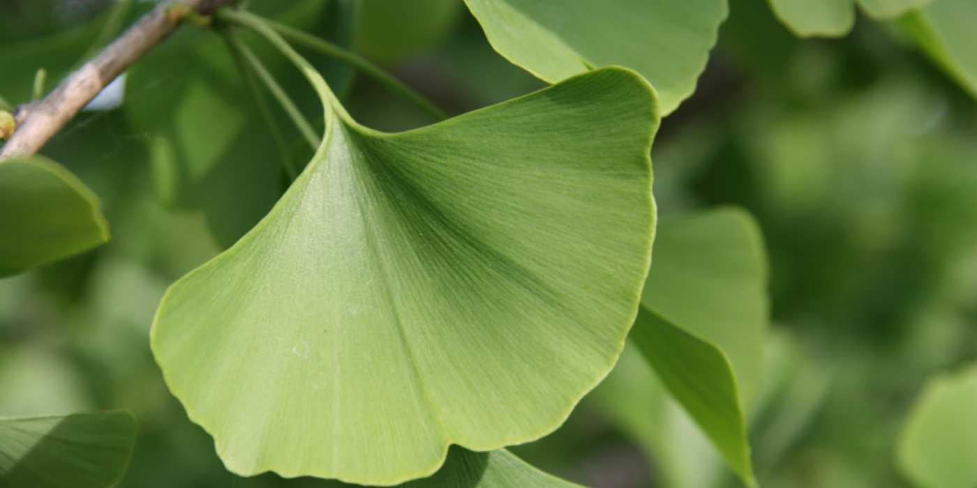 gingko-biloba-leaves-2.jpg