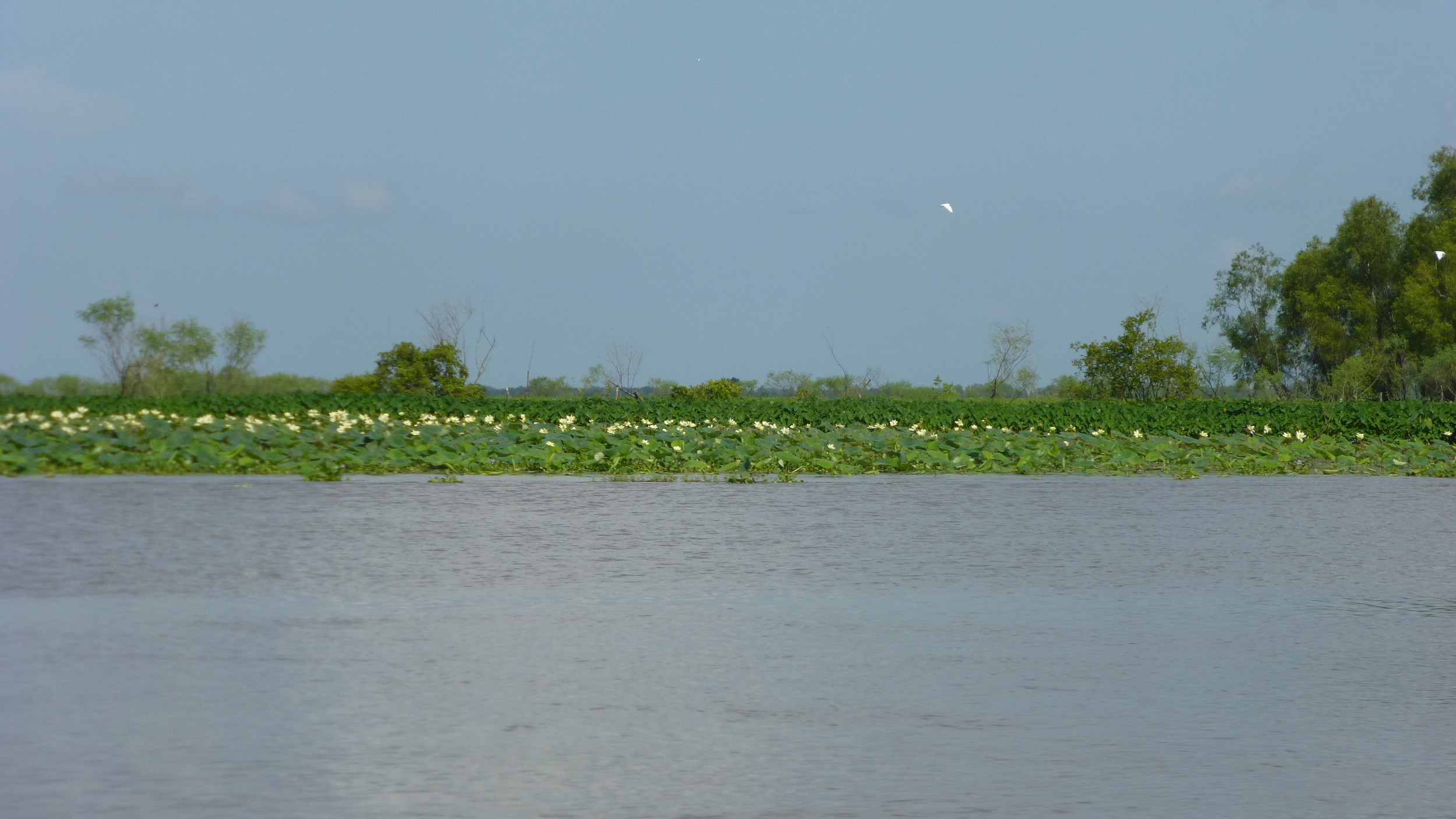 Lotuses blooming on Mike Island, part of Wax Lake Delta.