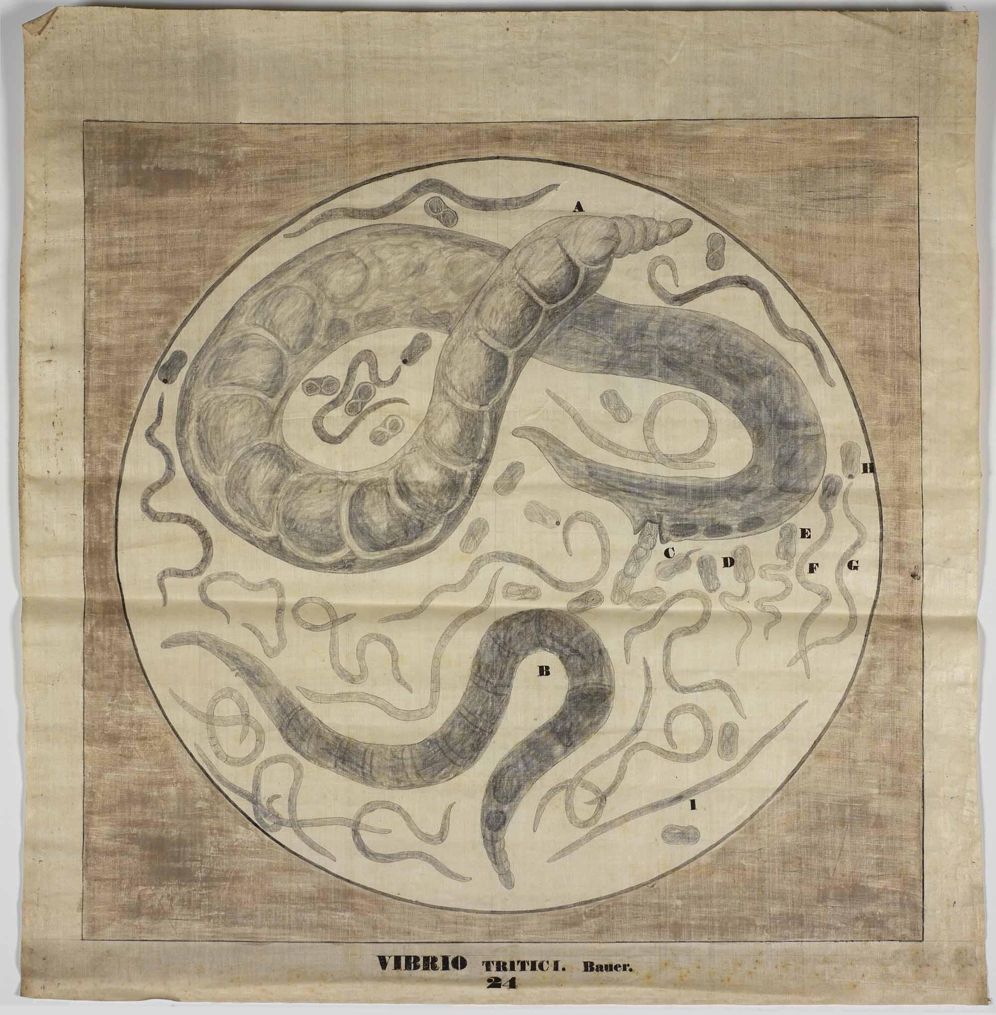 Vibrio tritici, [after Franz A. Bauer],  1821