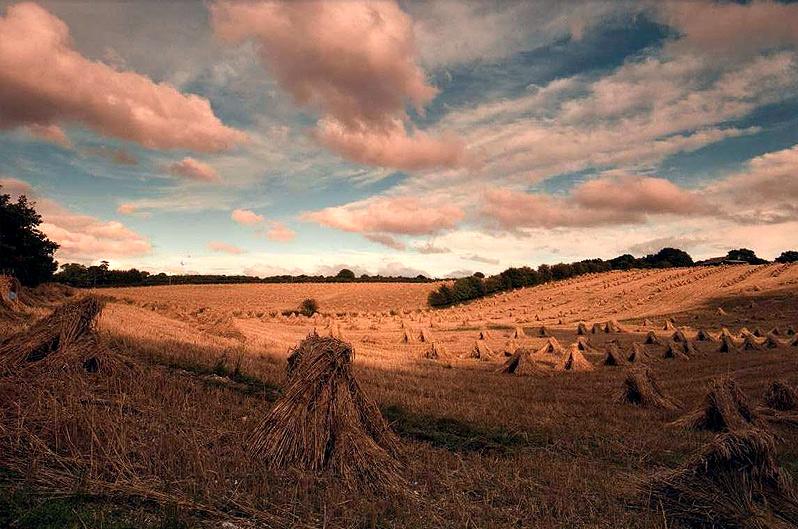 Harvest time at KS Thatchers
