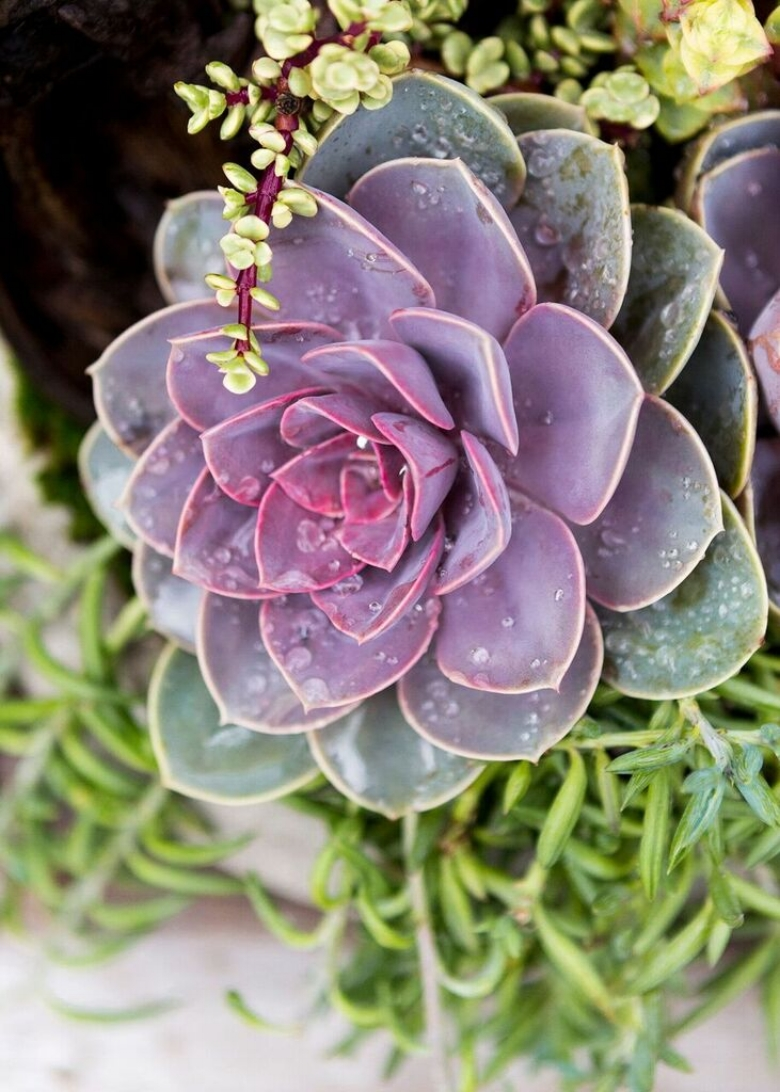 Succulent Arrangement: An Echeveria 'Perle Von Nürnberg' blossom nestled in between Portulacaria Afra 'Variegata' (Rainbow Bush) on the right and Senecio Radicans (Sting of Fishhooks) to the left.