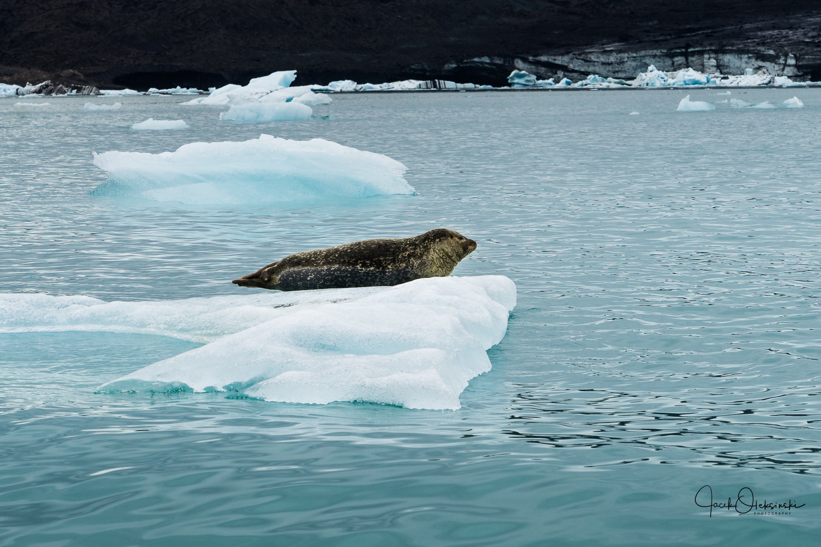 Seal resting on one of the many icebergs