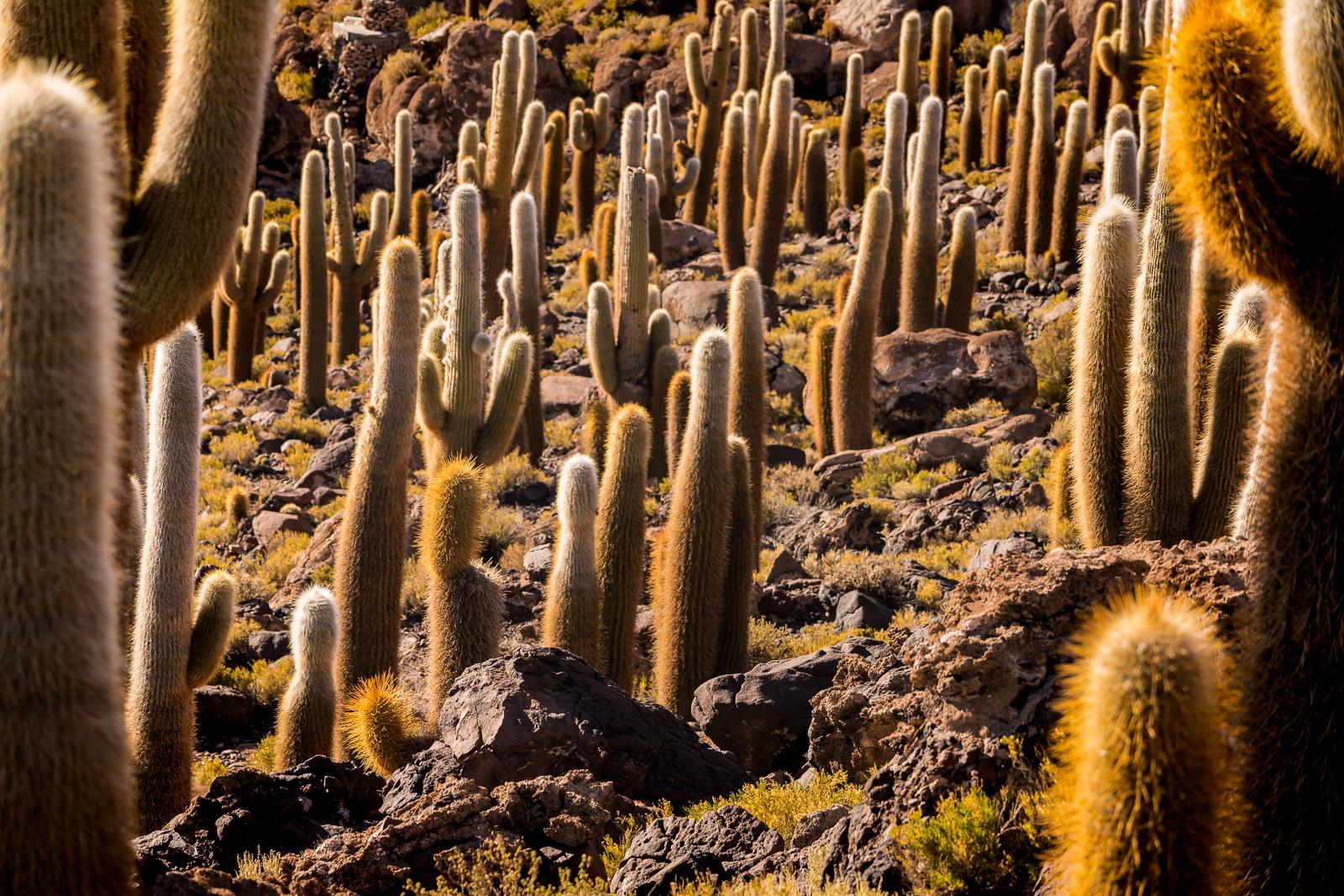 Giant beautiful cactus