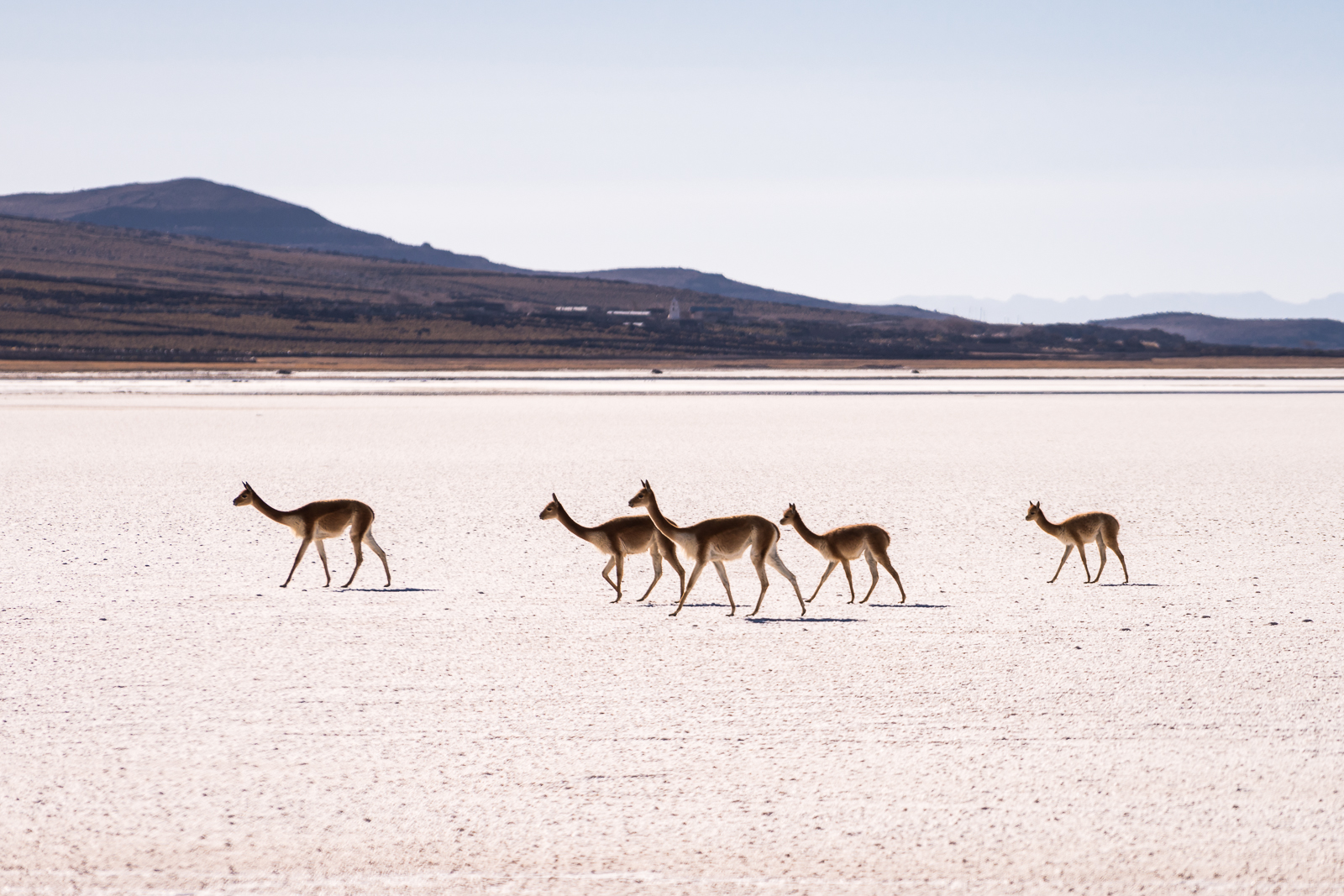 Vicuñas making their way through the desert