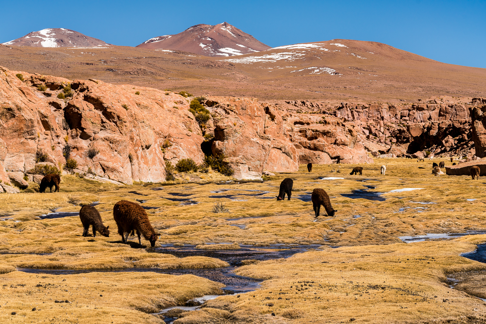 Lamas are seen everywhere
