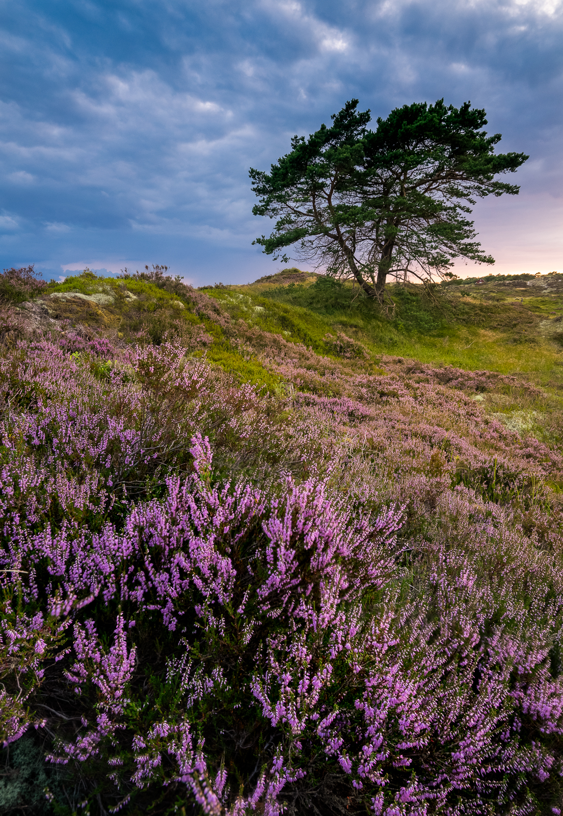 Getting the heather close to the foreground and having an interesting object in the background. A nicely balanced composition.