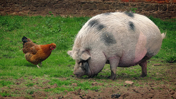 Chicke and Pig.jpg