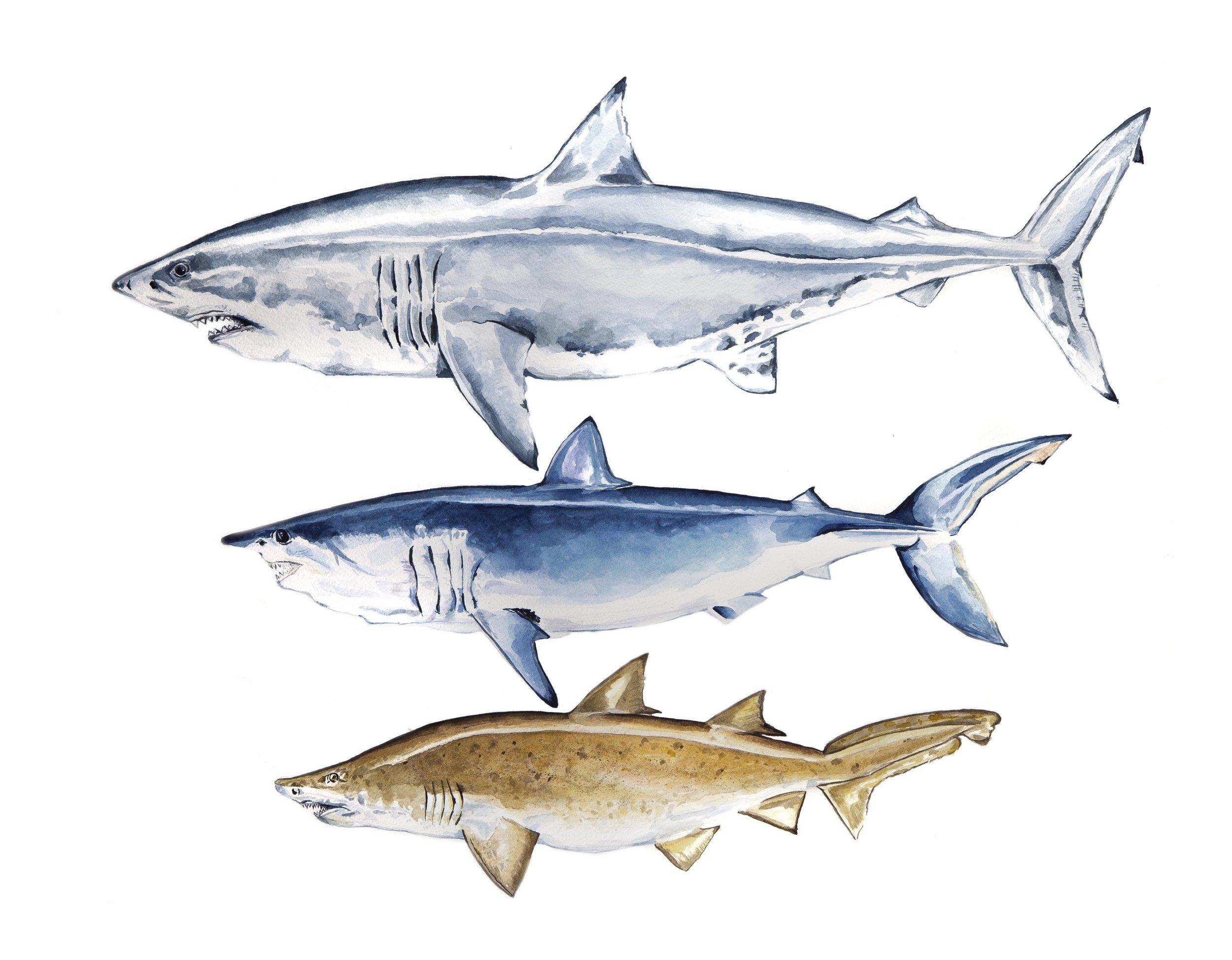 Sharks for Imaging.jpg