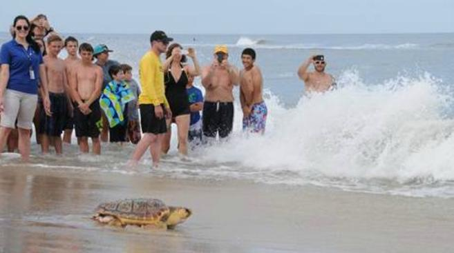 """""""Newfie"""" being released in Assateague State Park, Maryland on June 25, 2016."""