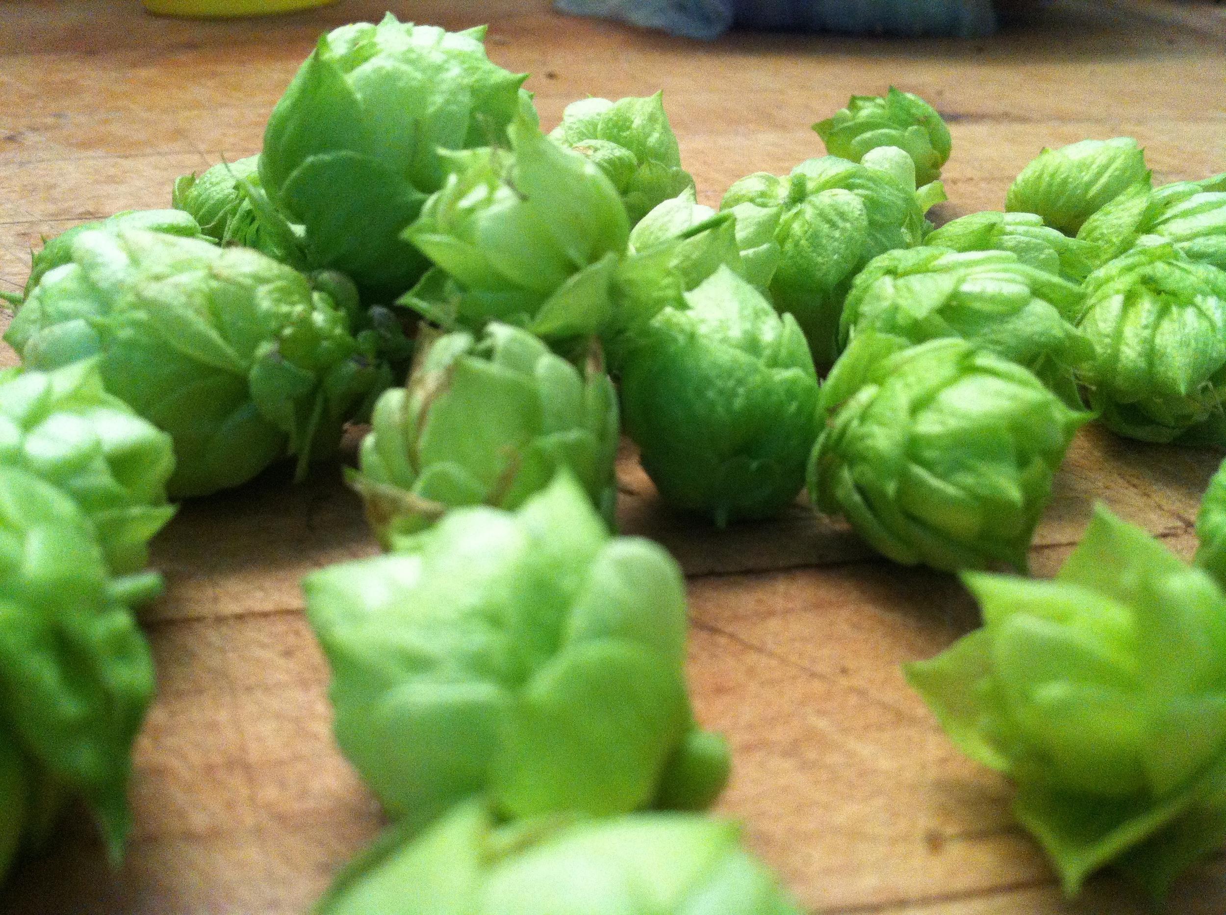 hops2.jpg