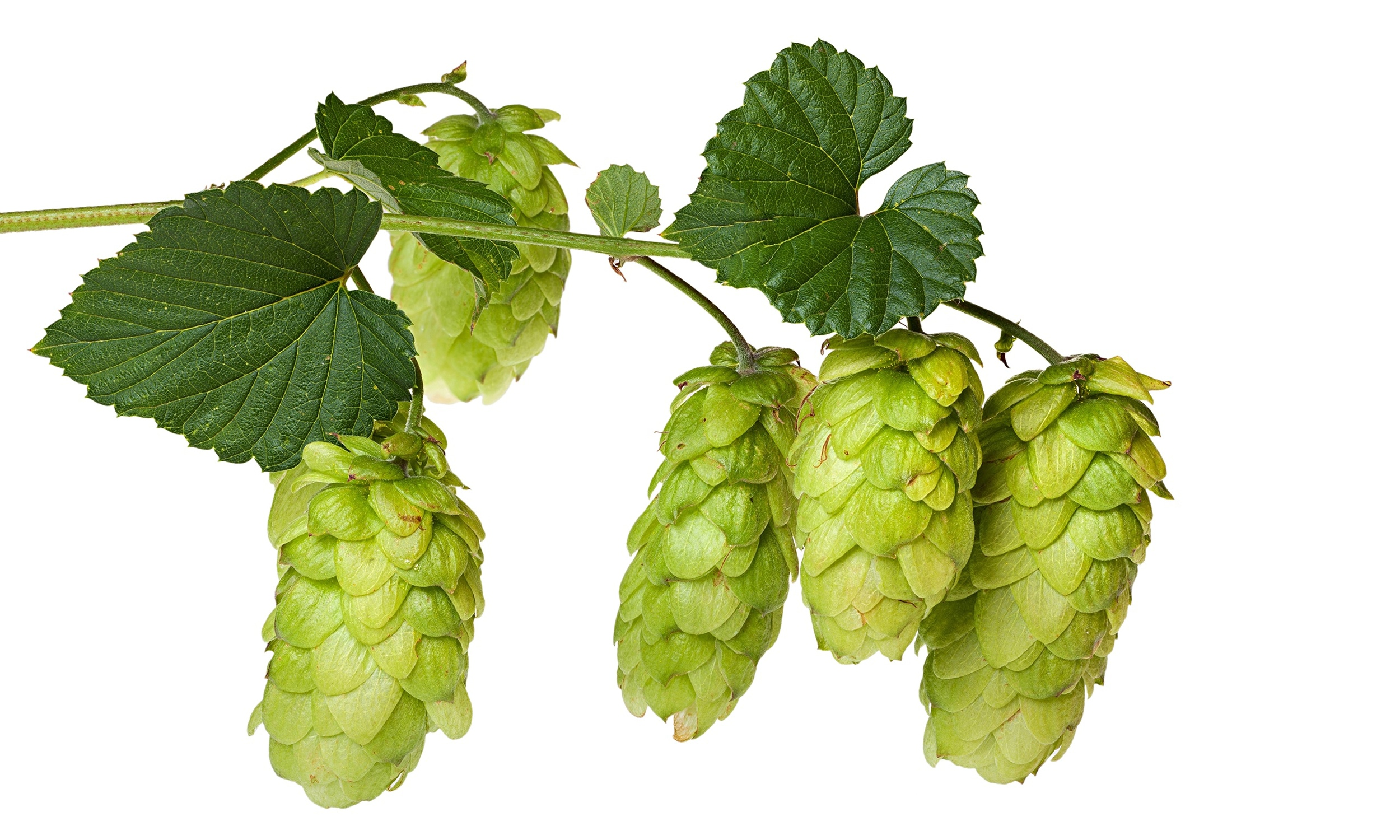 Hops-on-the-branch.-The-n-014.jpg