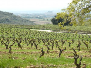 vineyard-300x225.jpg