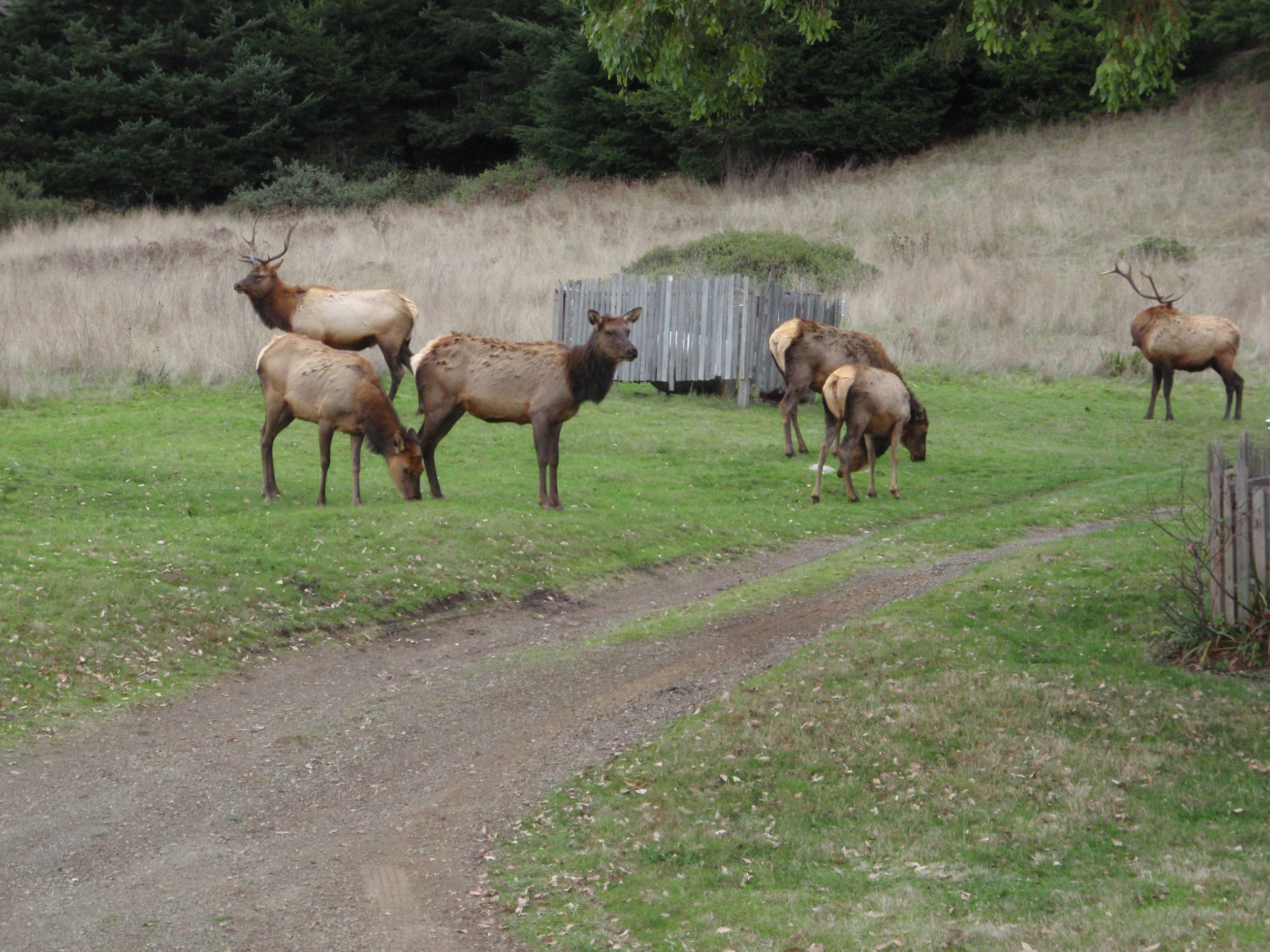 Roosevelt Elk are seen wandering around the Sinkyone Visitor Center during the rut season in early October.