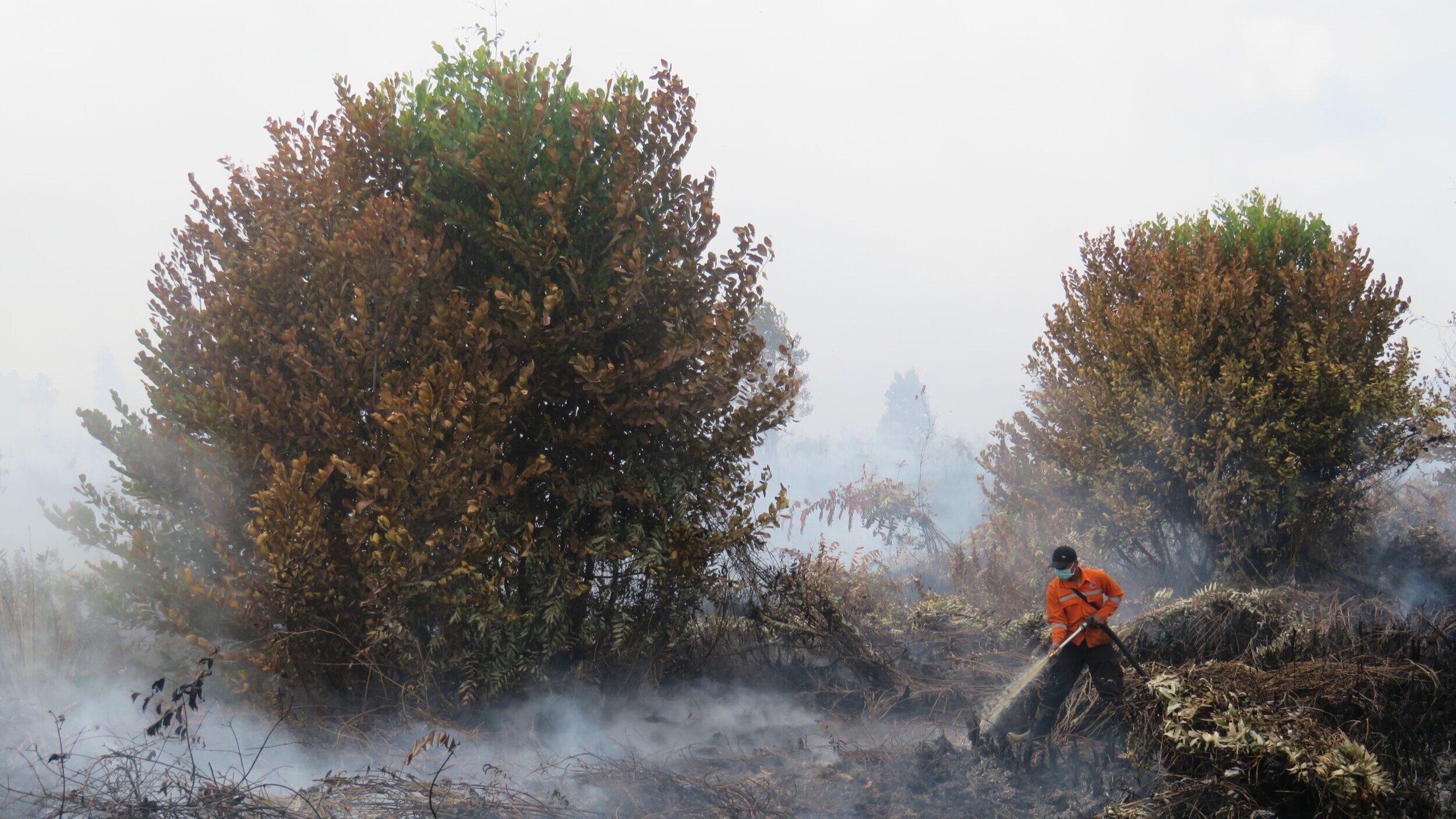 Firefighter extinguishing fire in peatland (Pulang Pisau Regency, Central Kalimantan) }  RANU WELUM MEDIA
