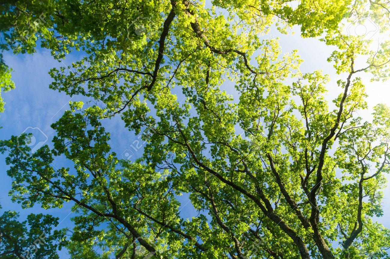 Trees - LA 44292237-oak-tree-crown-from-below-against-blue-sky-with-sunflare.jpg