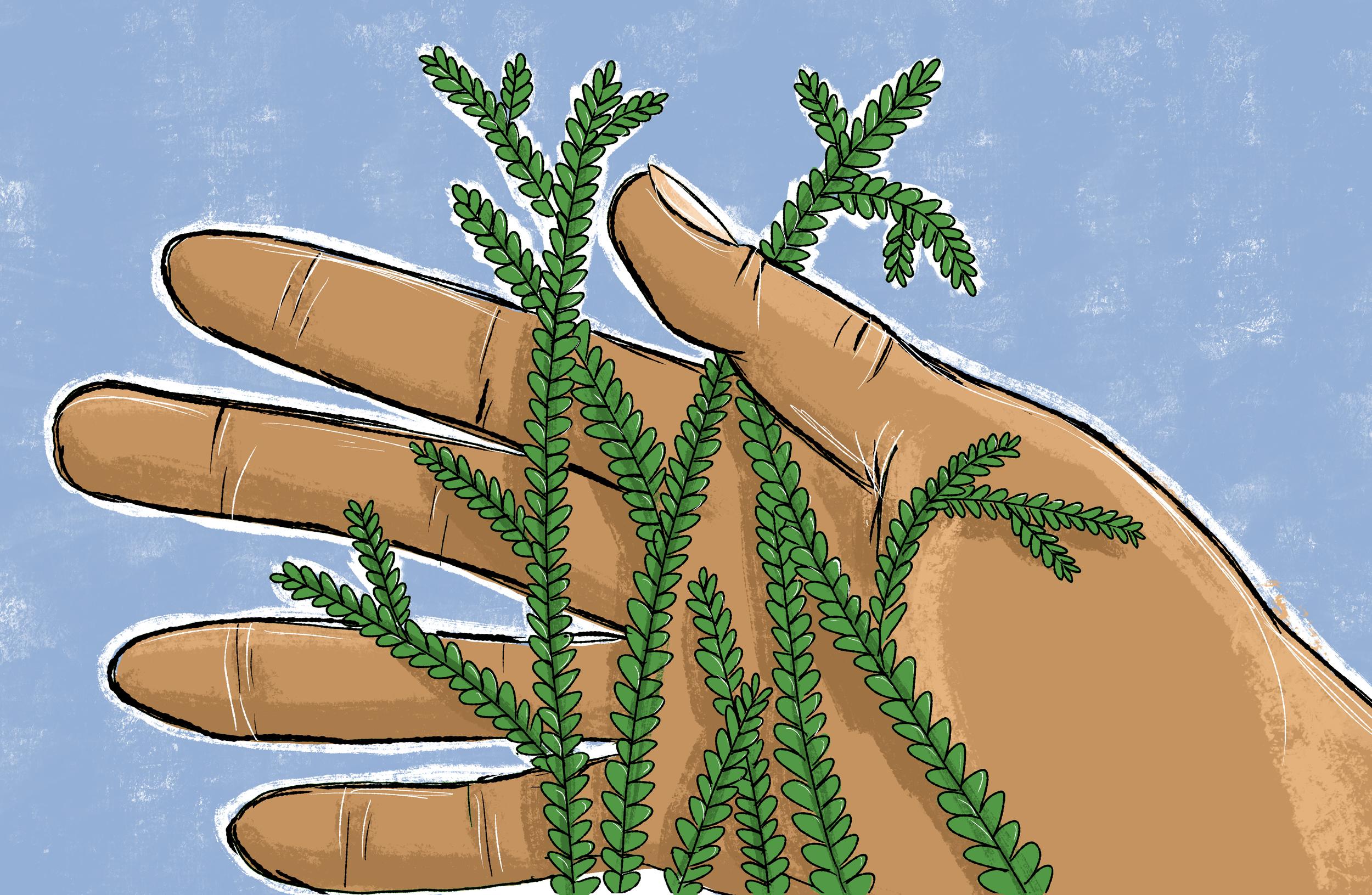 A handful af sanjeevani
