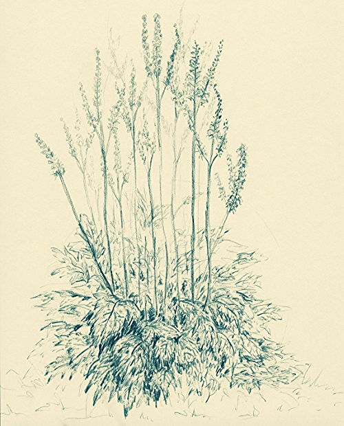 Shengma - Black cohosh. (Original artwork - All rights reserved)