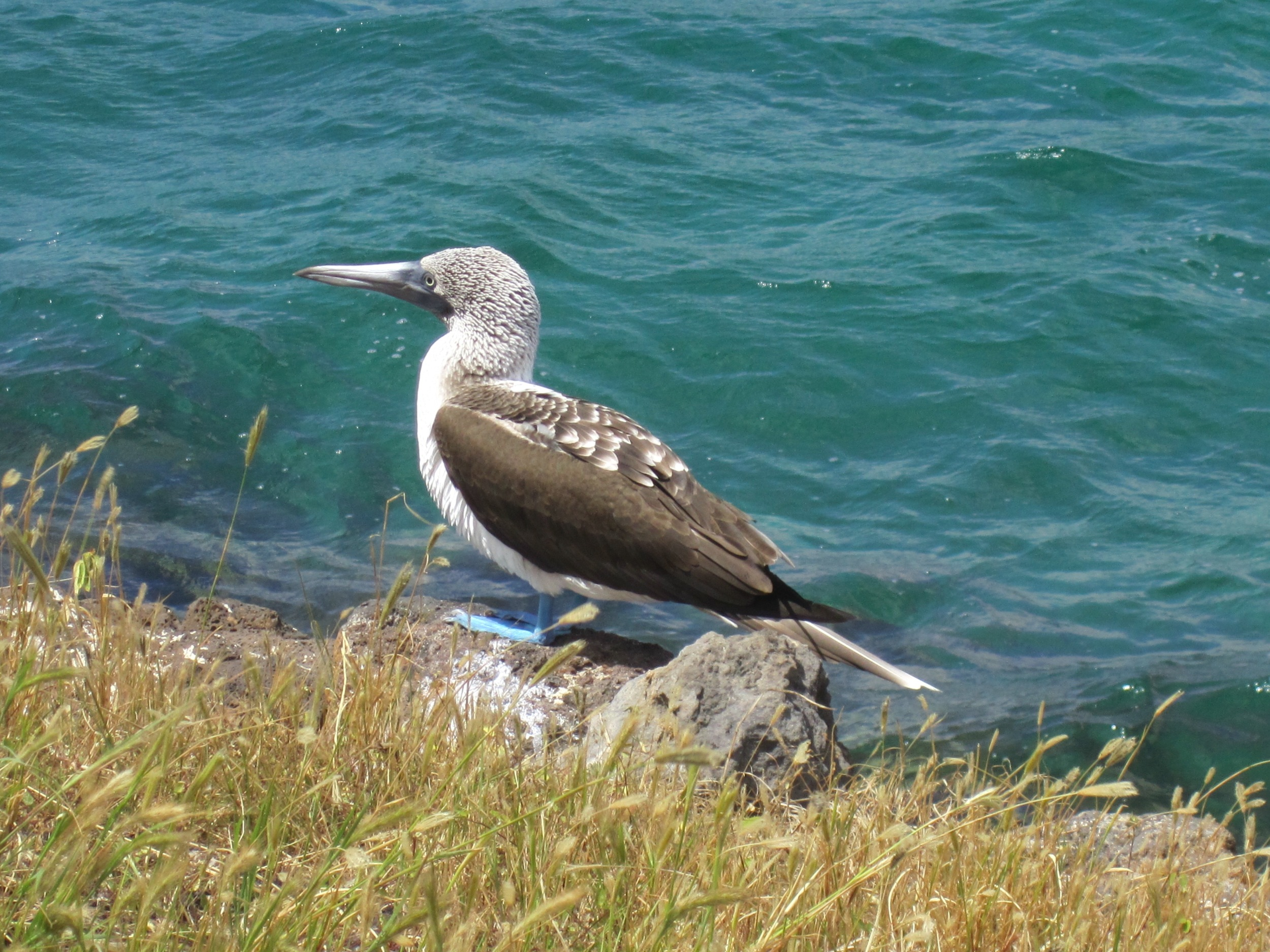 A Blue-footed Booby in the Galapagos