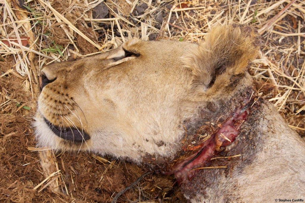 Chowo Lioness de-snaring 003.jpg
