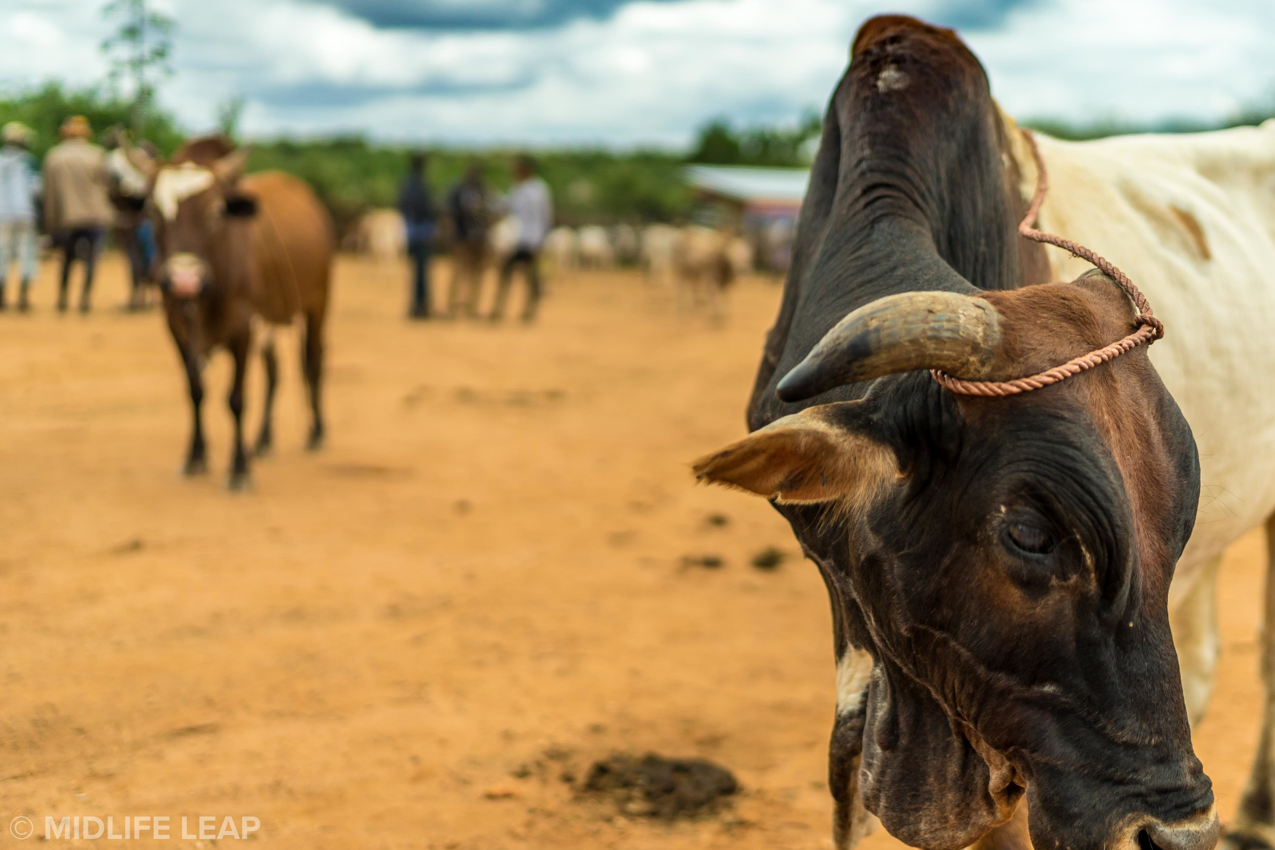 cattle-market-omo-valley-ethiopia
