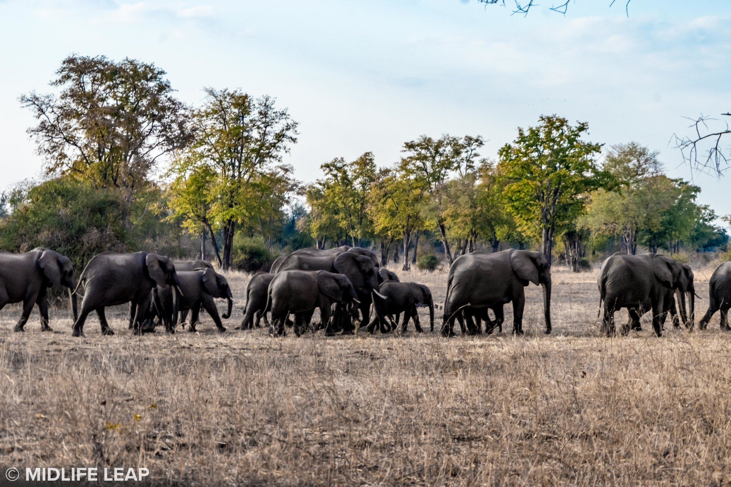 safari-in-zambia-remote-africa-safaris-midlife-leap-tafika-elephants