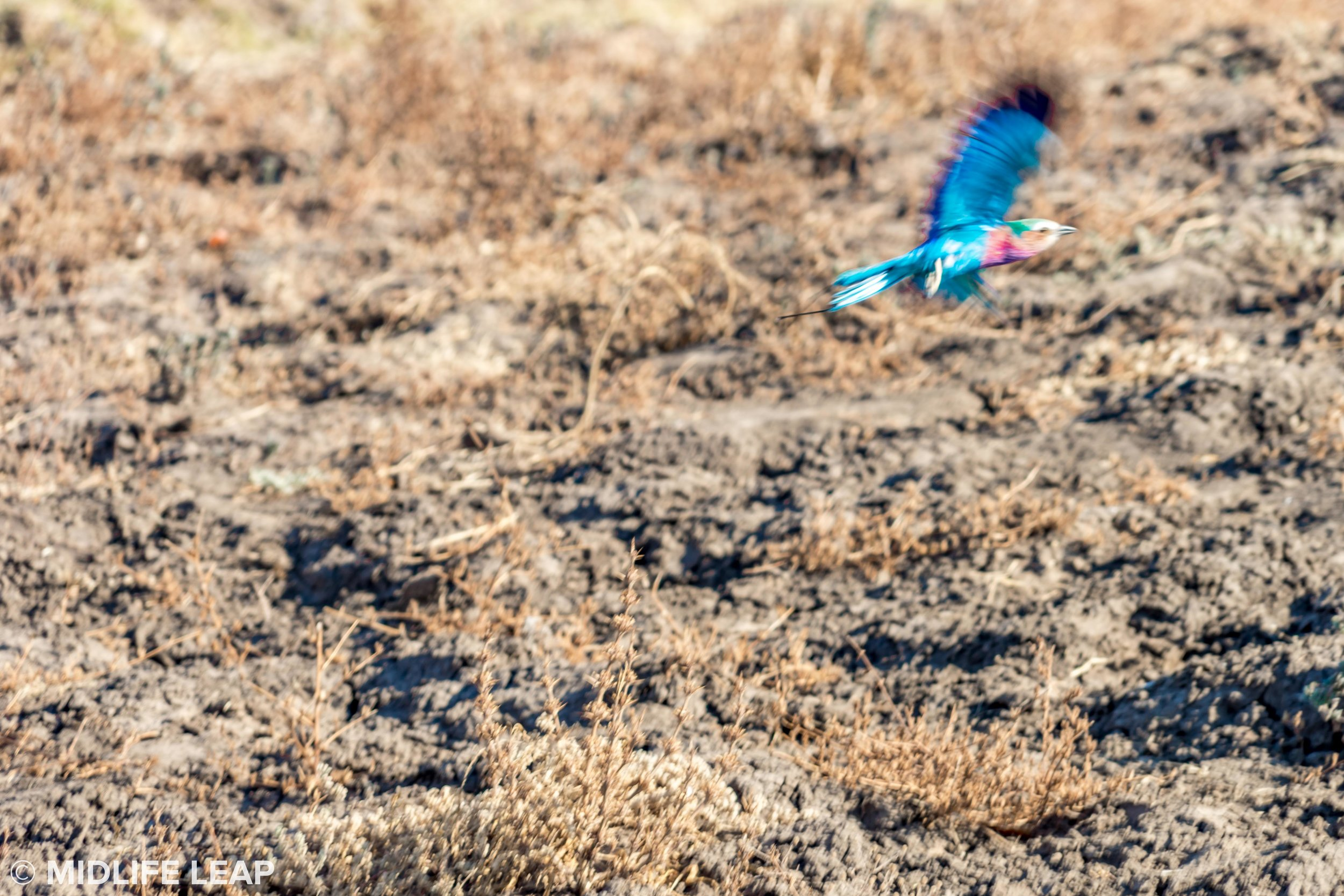 the lilac breasted roller in flight