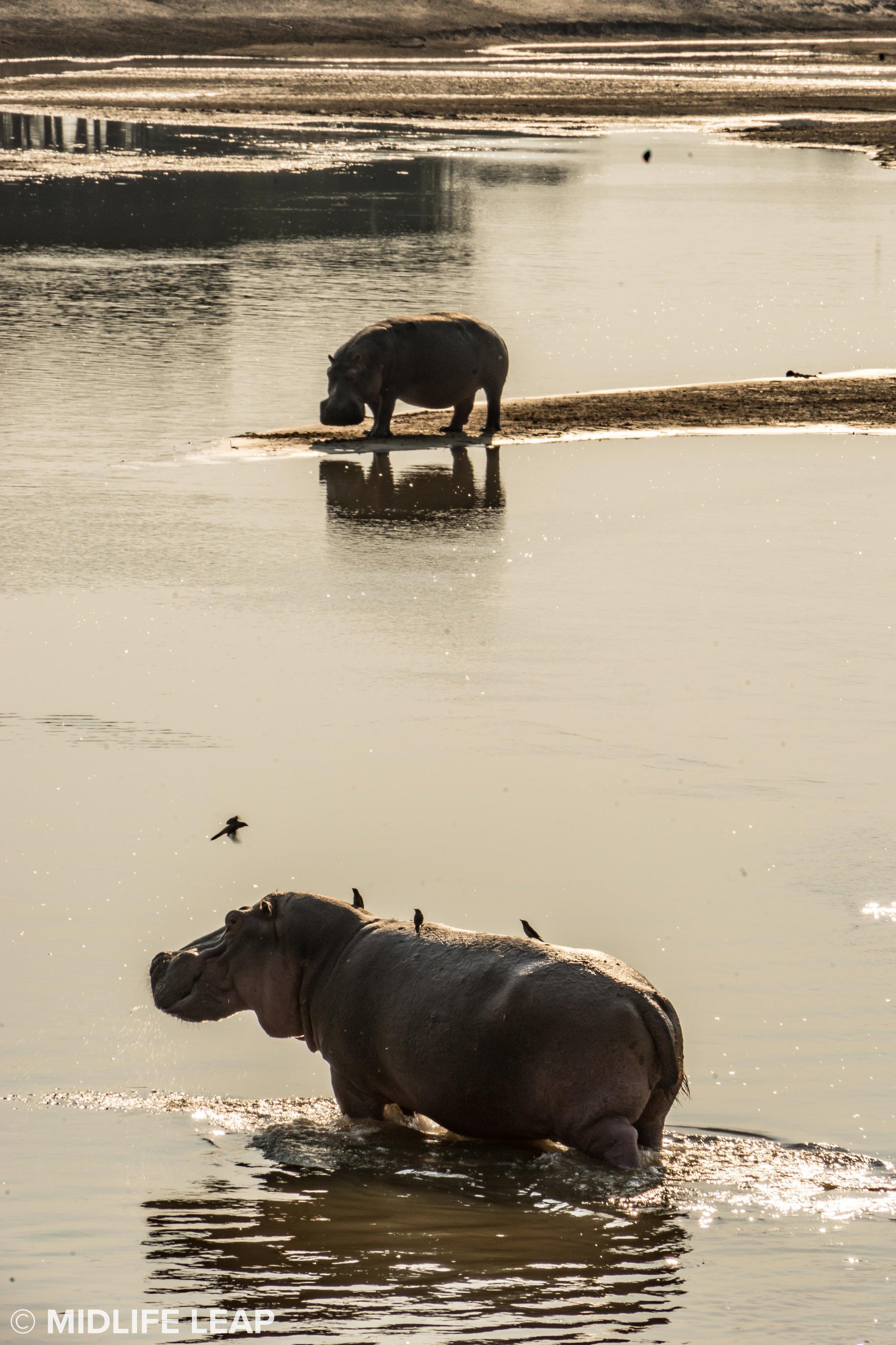 mwaleshi-north-luangwa-walking-safari-hippo.jpg