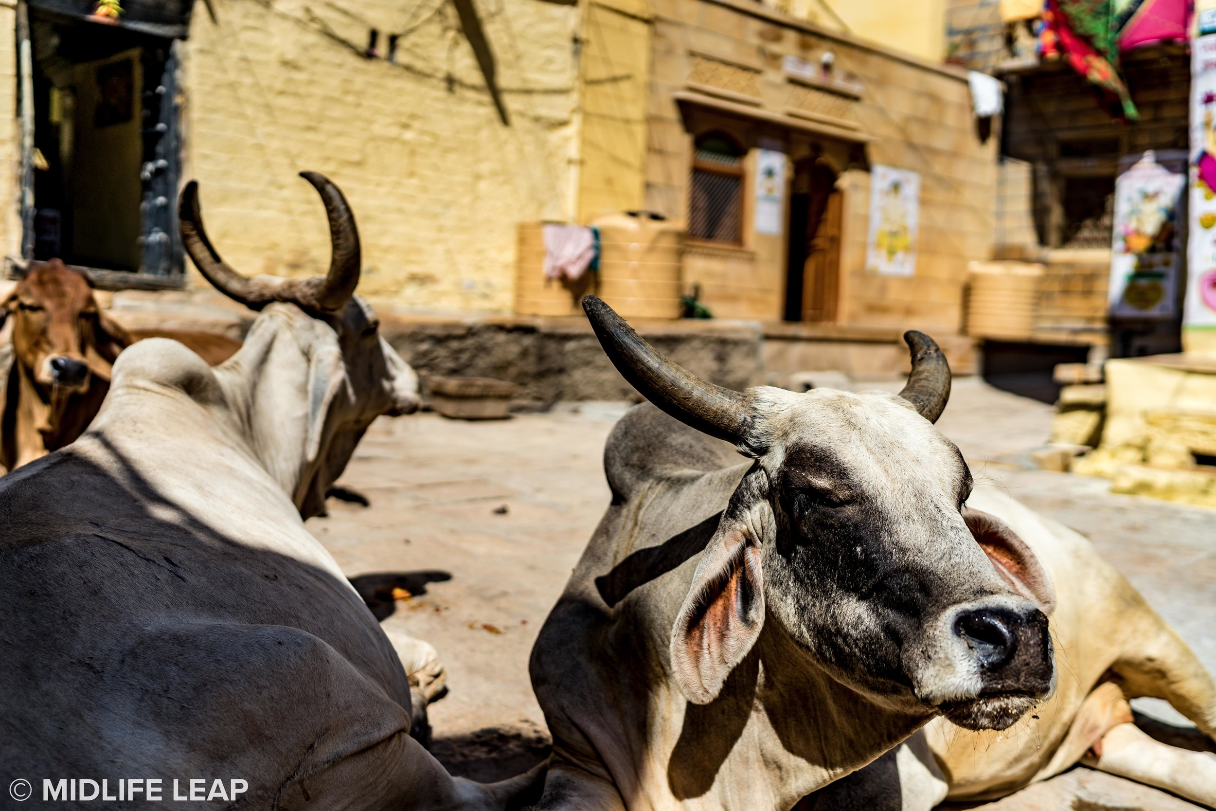 cows-of-india-inside-jaisalmer-fort-rajasthan.jpg
