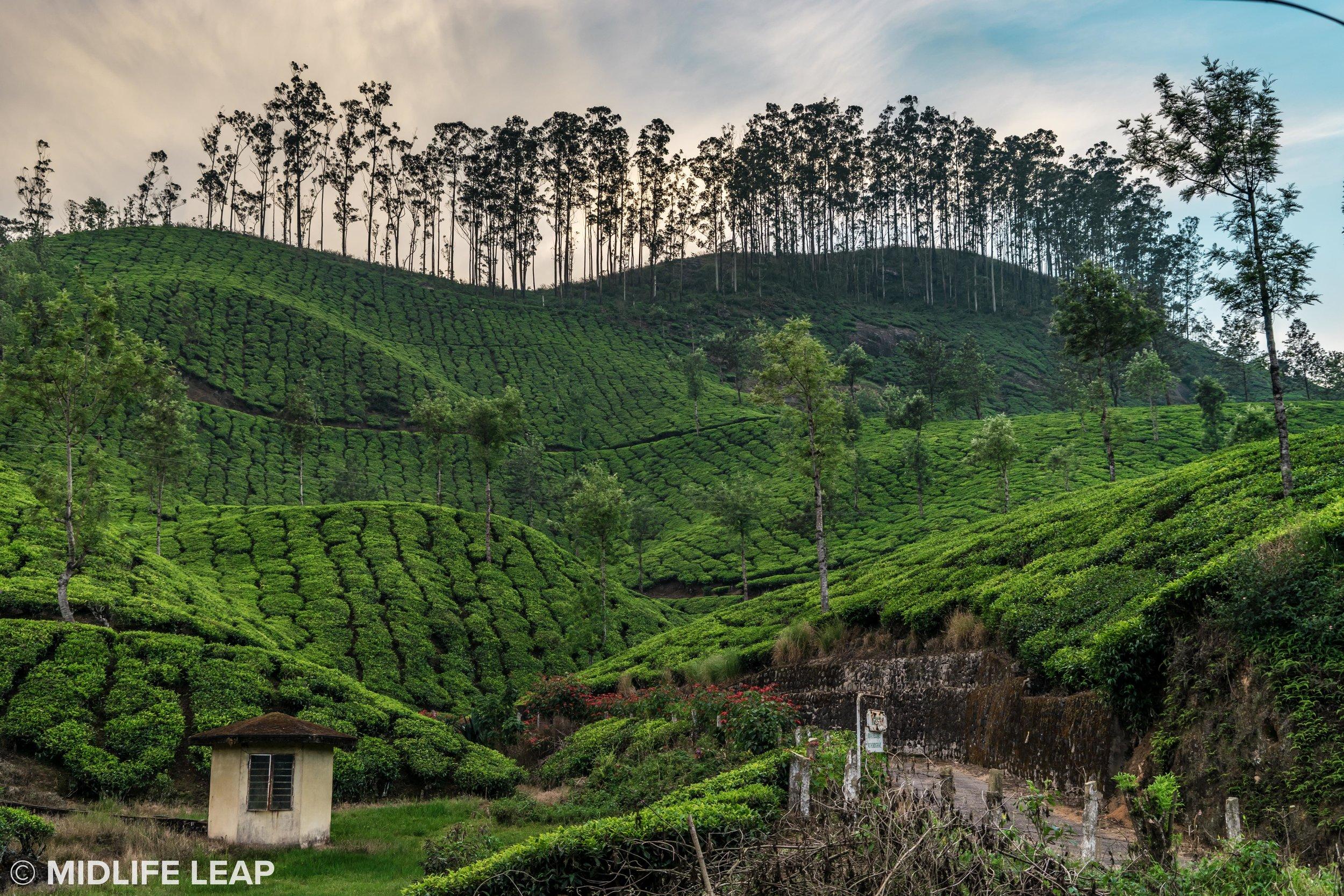 visiting-munnar-kerela-tea-country