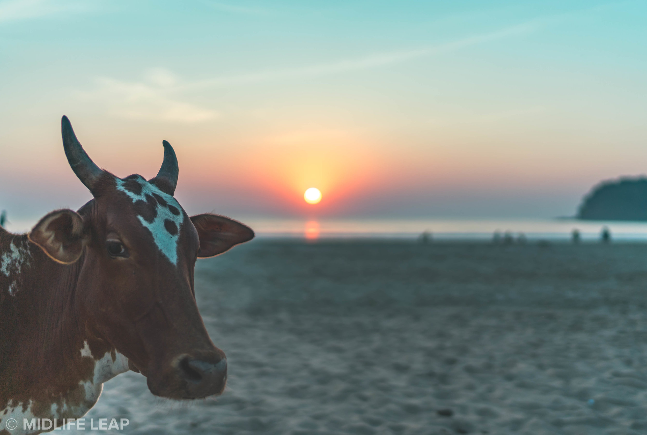 cows-on-agonda-beach-south-goa