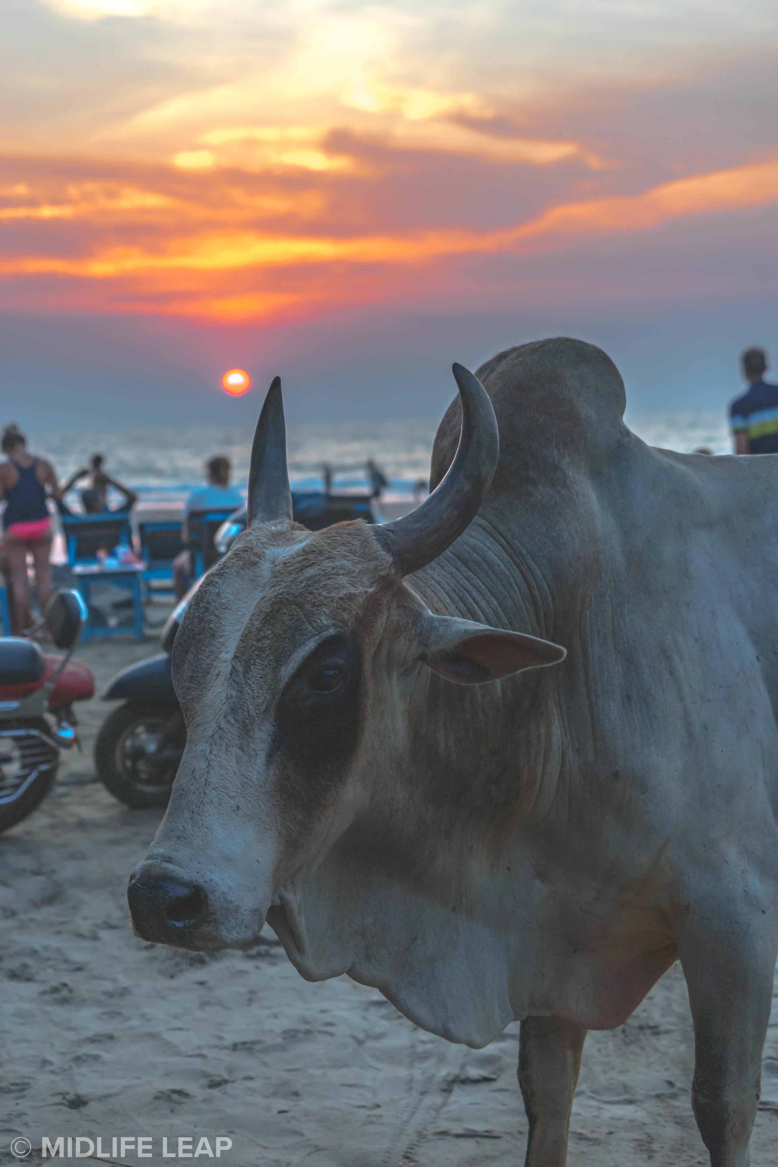 cows-on-vagator-beach-north-goa