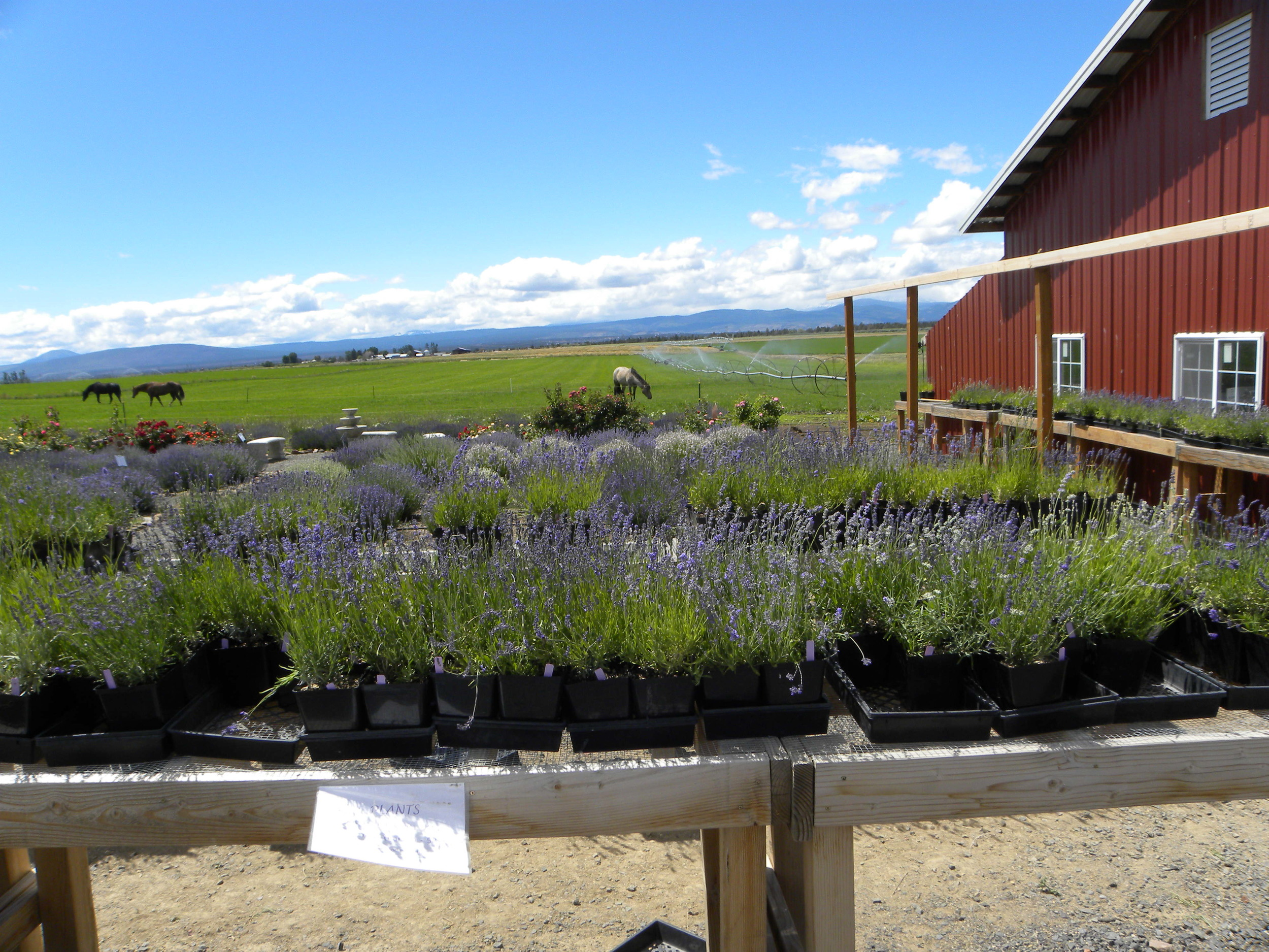 "SALE  on our beautiful 2nd year plants -  3 x 5.5"" pots for $20  !!  We have many different varieties of both French and English Lavender to choose from."