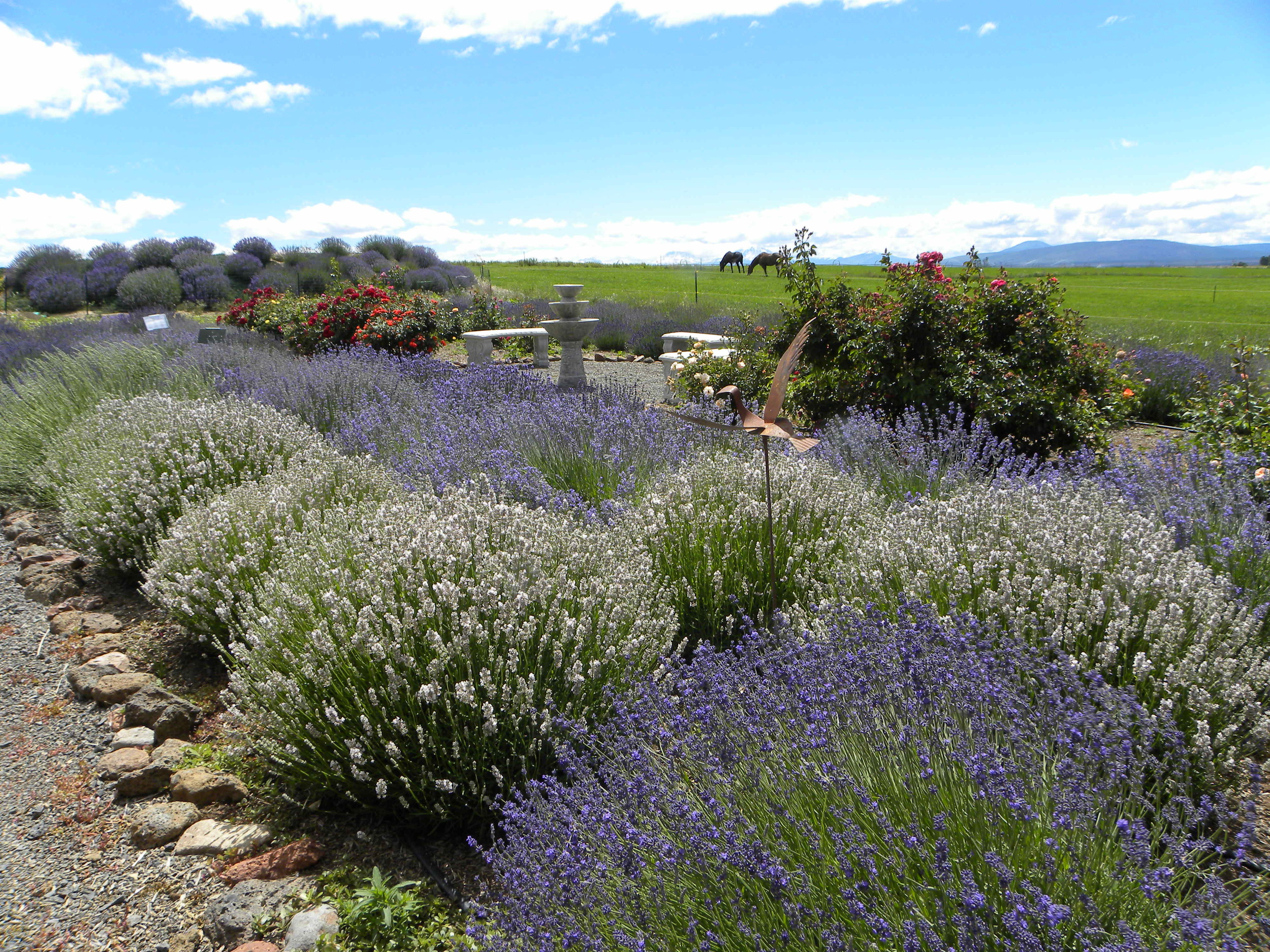 Our display garden where you can see most of our lavender varieties. We have over 115 varieties in total on our farm!!