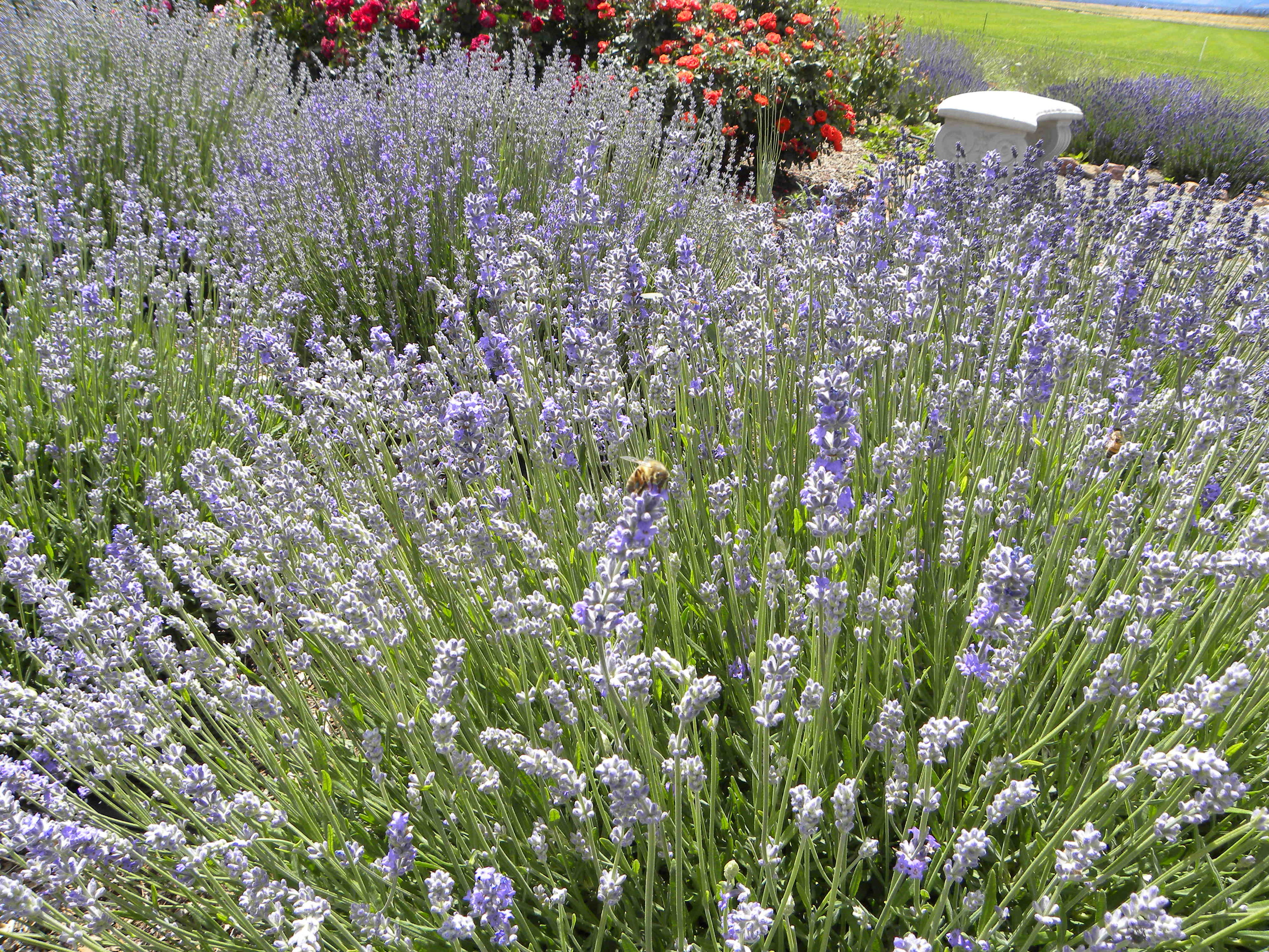 The bees know where the lavender is in bloom!! Cascade Lavender Farm...5000 SW Feather Drive in Madras ;-)