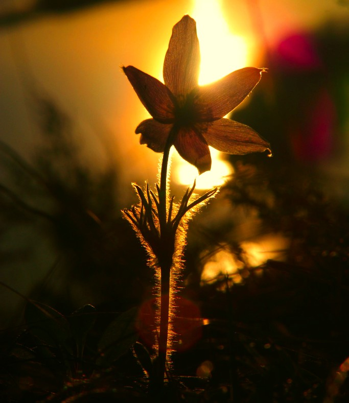 Glowing Pasqueflower; Trempealeau, WI,USA