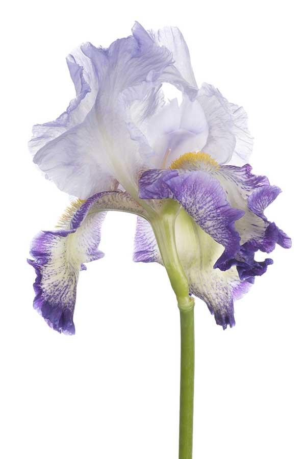 purple-iris-testimonial