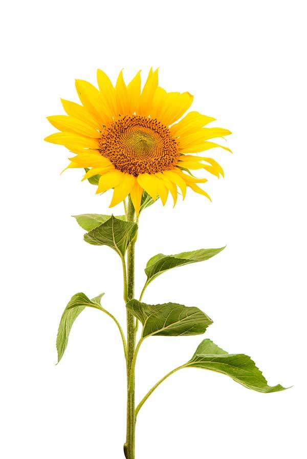 sunflower-testimonial