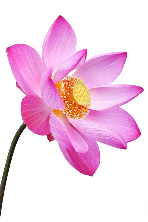 pink-lotus-testimonial