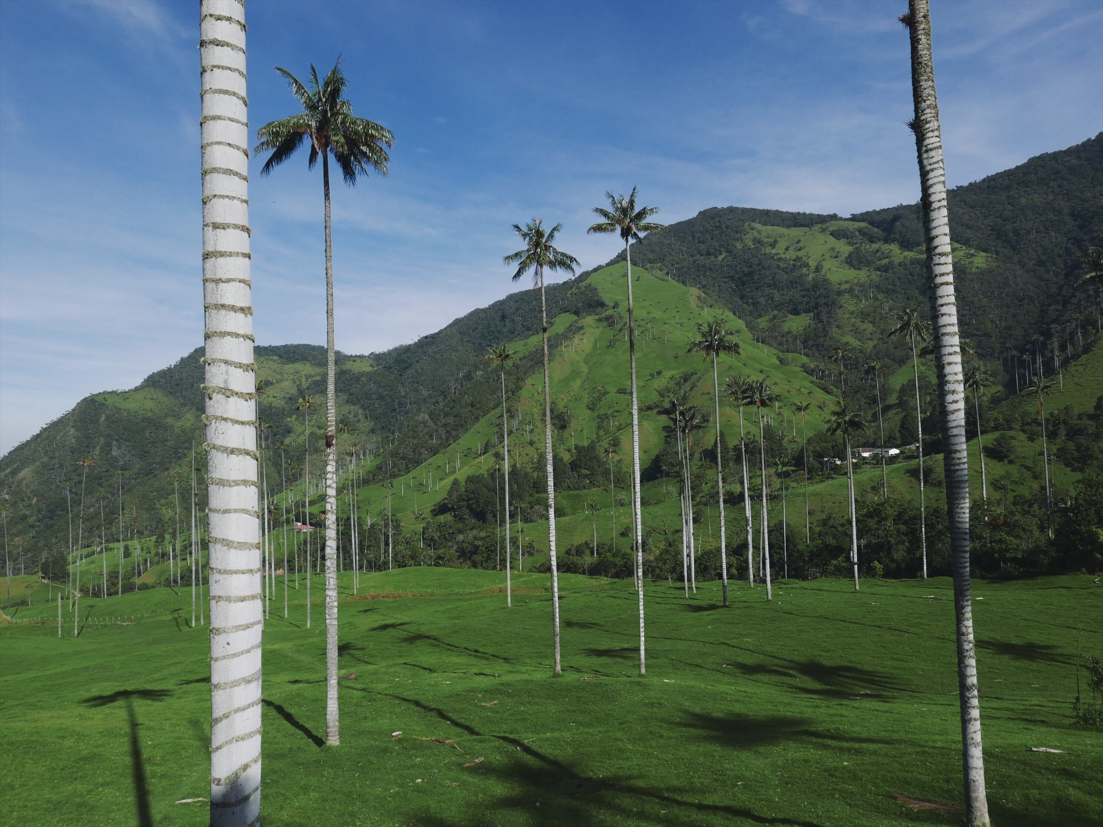 While the wax palms of the Cocora Valley are natural, the surreal scene along the valley floor is not. Grazing cattle have kept all aspiring palm seedlings at bay while the existing trees continue to grow to almost two hundred feet tall. The resulting landscape is one of those bittersweet beautiful accidents, where the contrasting trees are actually the last remnants of a once healthy forest. Of course, in the meantime, the grey trunks against the impossible green make for some incredible photos. That, or a super challenging frisbee golf course.
