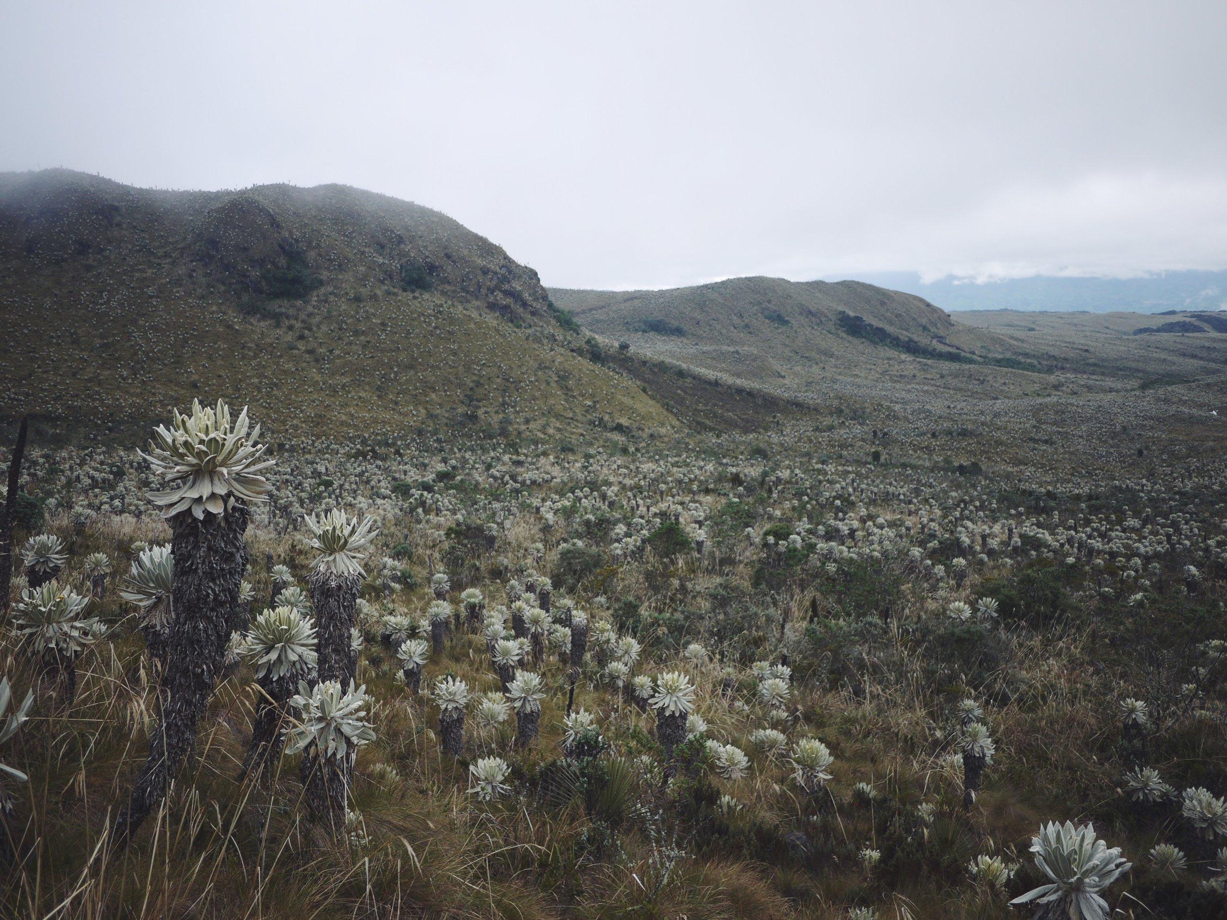 The bizarre Frailejones of El Angel Ecological Reserve.